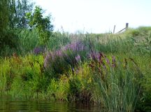 River bank. Green water reeds trees and wild flowers on the bank of a river Royalty Free Stock Image