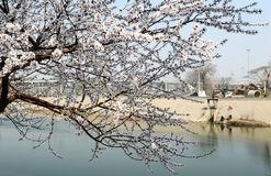 River bank peach blossom Stock Images