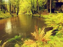 River bank under fall trees at mountain river. Fresh autumnal air in the evening after rainy day,. Mossy boulders, rain drops on light green fern royalty free stock photo