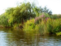 The river bank. Water reeds, willow trees and wild flowers growing along the bank of a river Royalty Free Stock Photos