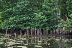 The river Bentota among the Jungle. Stock Photo