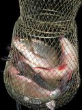 River big fish in a metal cage. Fisherman`s catch on black background royalty free stock images