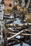 River with birch Stock Images
