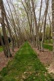 River Birch Trees in Line Stock Photo