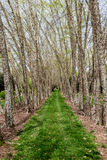 River Birches Down Grassy Lane Royalty Free Stock Photography
