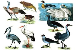 River birds.On white background Royalty Free Stock Image