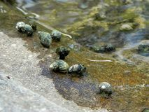River bivalves Royalty Free Stock Images