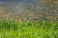 River Bosut in Vinkovci. Nature detail of the grass with green river Bosut covered with algal blooms in Vinkovci, Croatia Stock Images