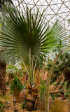 River Bottom Palm Tree. A small River Bottom Palm Tree (Bismarckia nobilis) from Madagascar, in a greenhouse Stock Photo