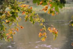 River branch. Branch with leeaves  in autumn Backgruong river Neris in Vilnius Lithuania Stock Photo