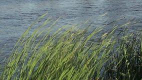 River bulrush stock video