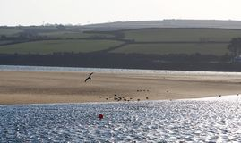 River Camel Estuary, Cornwall. A sea bird flies over a sand bank on the Camel estuary at Padstow, Cornwall stock photo