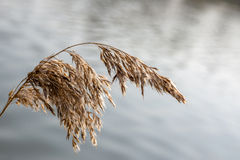 River cane branch. Branch of river reeds over the water Stock Photo