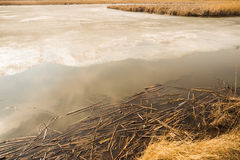 River cane in ice and snow on the frozen lake Royalty Free Stock Photo