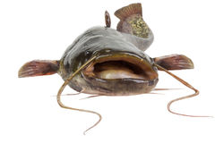 The river catfish Stock Photography