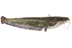 The river catfish. Big river catfish close up, isolated on white background with clipping paths royalty free stock images