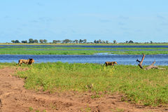 River Chobe,lions,Botswana Royalty Free Stock Photos