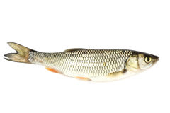 River chub Stock Photo