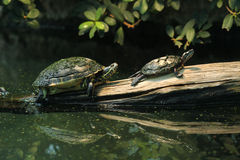 River cooter and Eastern painted turtle. River cooter (Pseudemys concinna hieroglyphica) and Eastern painted turtle (Chrysemys picta picta). Wild life animal Royalty Free Stock Photography