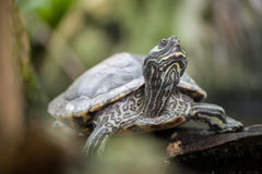 River cooter - a freshwater turtle native to Florida Stock Photography