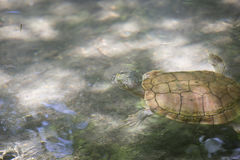 River Cooter Turtle Royalty Free Stock Images