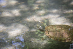 River Cooter Turtle Stock Image