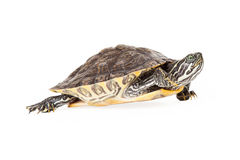 River Cooter Turtle Walking. Cute River Cooter Turtle walking to the side Stock Photography