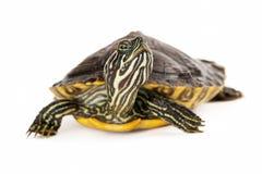 River Cootersköldpadda Fotografering för Bildbyråer