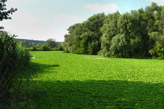 River covered with water lettuce Pistia stratiotes. Stock Photography