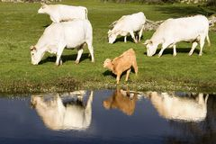 River cows Royalty Free Stock Image