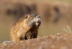 River coypu Myocastor coypus by the river. Hairy river coypu Myocastor coypus by the river royalty free stock image