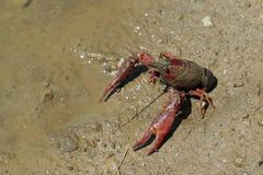 River crab. Lake royalty free stock photos