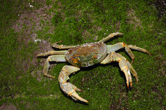 River Crab. River Crab (Potamoidea family) sitting on the wet green stone Royalty Free Stock Photography