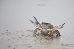 River Crab. On the Beach Royalty Free Stock Photos