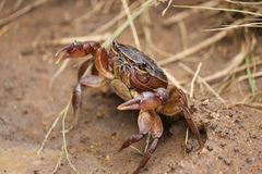 River Crab Royalty Free Stock Images