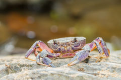 River crab i Stock Images