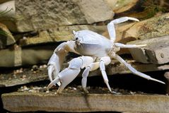 River crab Potamon sp. Royalty Free Stock Images