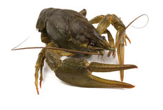 River crayfish Royalty Free Stock Photo