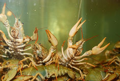 River crayfish Stock Photography