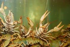 River crayfish Stock Photography