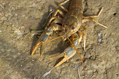 River crayfish / Astacus fluviatilis Royalty Free Stock Image