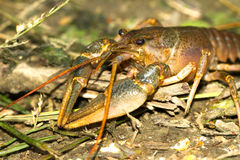 River crayfish / Astacus fluviatilis Stock Photo