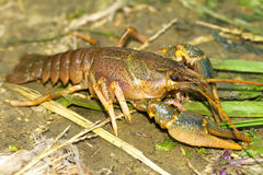 River crayfish / Astacus fluviatilis Stock Images