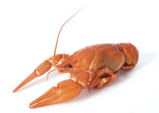 River crayfish Stock Photo