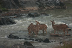 River Crossing. Spotted deer crossing a river. River gushes over rocks Stock Photo