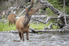 River crossing cow elk in springtime Royalty Free Stock Photos