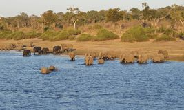 River crossing elephants in Chobe, Botswana. Herd of Elephants swimming in the river in Chobe National Park in Botswana royalty free stock image