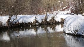 Snowy river curve in a park. A river curve in a snowy winter landscape on a sunny day stock video