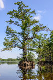 River Cypress Royalty Free Stock Photos