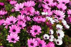 River daisy Dimorphotheca ecklonis or Osteospermum Royalty Free Stock Photos